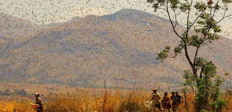 Plague of locusts raged many countries,Nature sounds the alarm